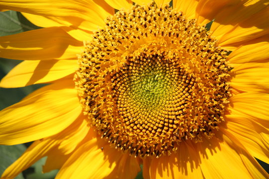 Sunflower in The Summer