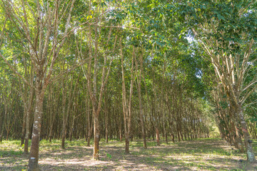 Rubber plantation lifes in Rubber trees farm at Thailand