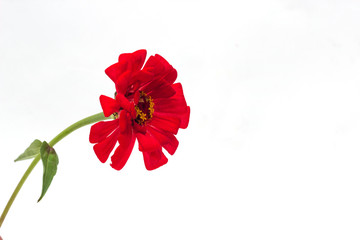 Red zinnia with a green stem on a white background, isolate, close-up, zinnia flower, floral
