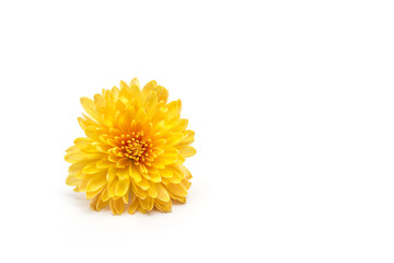 Flower yellow chrysanthemum on a white background, isolate, close-up, golden-daisy, beautiful
