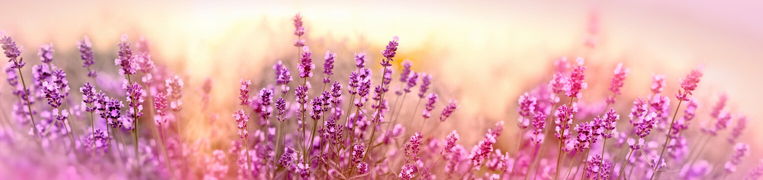 Soft and selective focus on lavender flower, beautiful lavender in flower garden