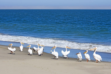 Great White Pelicans standing by the edge of the Atlantic, Sandwich harbor, Namibia.