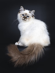 Excellent tabby point Sacred Birman cat kitten sitting side ways and tail hanging down from edge, looking straight at camera with dreamy blue eyes isolated on black background