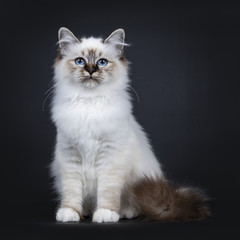 Excellent tabby point Sacred Birman cat kitten sitting front view, looking straight ahead beside camera with dreamy blue eyes isolated on black background