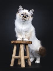 Excellent tabby point Sacred Birman cat kitten standing behind and with front paws on wooden stool, looking straight at camera with dreamy blue eyes isolated on black background