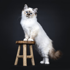 Excellent tabby point Sacred Birman cat kitten standing side ways with front paws on wooden stool, looking straight at camera with dreamy blue eyes isolated on black background