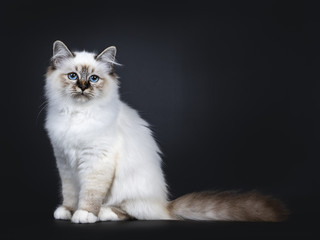 Excellent tabby point Sacred Birman cat kitten sitting side ways, looking at camera with mesmerizing blue eyes isolated on black background