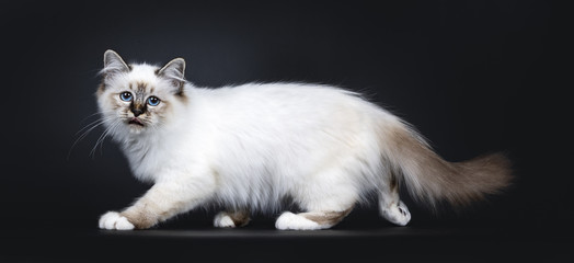 Excellent tabby point Sacred Birman cat kitten walking / hunting side ways, looking straight at camera with dreamy blue eyes and sticking out tongue isolated on black background