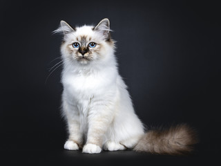 Excellent tabby point Sacred Birman cat kitten sitting side ways, looking straight ahead beside camera with mesmerizing blue eyes isolated on black background