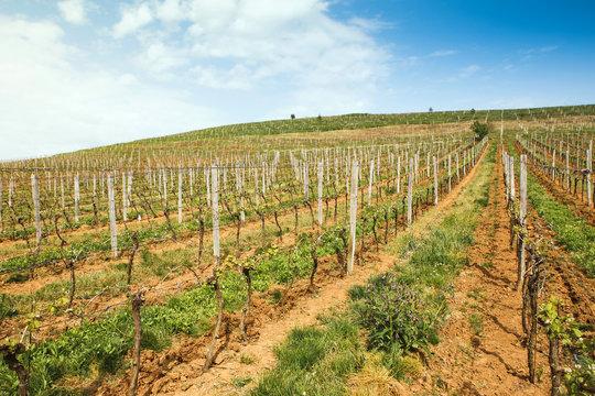 Wineyard in Western Ukraine