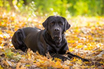 black labrador retriever lying down on autumn forest