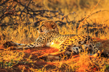 African cheetah species Acinonyx jubatus, family of felids, lying on red desert sand in Madikwe, South Africa. Sunset light.