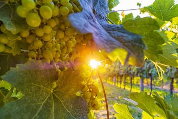 Papiers peints Vignoble Sunny vineyard with ripe grapes and shining sun