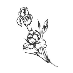 Blossoming irises flowers on white. Vector illustration.