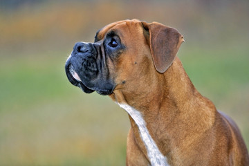 Boxer Dog watching bird.