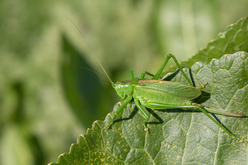 grasshopper on a green leaf,The insect was masked in the green color of the leaves of the plant