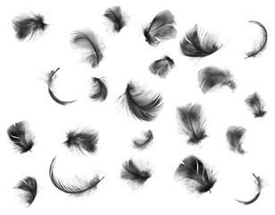 Beautiful collection black feather isolated on white background