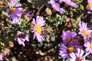 пчела собирает нектар с красивых фиолетовых цветов