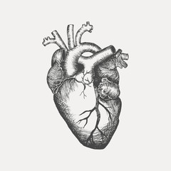 Anatomical human heart - sketch isolated on white background. Hand drawn sketch in vintage engraving style. Vector illustration.