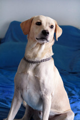 Dog is resting at home. Photo of yellow labrador retriever dog posing and sitting on bed for photo shoot. Portrait of cute labrador, enjoying and resting on a blue bed, poses in front of the camera.