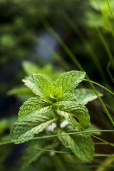 Close-up of mint plant growing outdoors