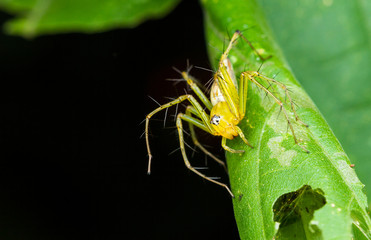 Yellow Lynx Spider on green leaf