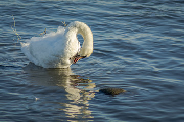 swan preening its chest feathers