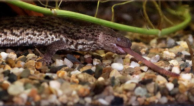 Earless monitor lizard eats an earthworm inside its enclosure in Prague Zoo