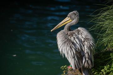 pelican pose 2