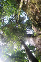 Ma Tree - Samoa