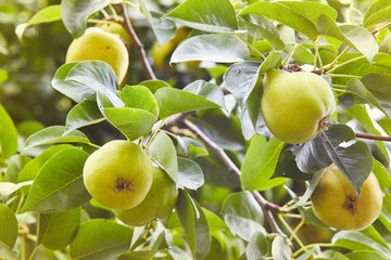 Plenty of fresh juicy pears on pear tree branch. Organic pears in natural environment. Crop of pears in summer garden. Summer fruits. Autumn harvest season