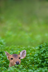 Eye contact animal photo. Hornless female Sambar deer (Rusa unicolor) in green field was suspect looking at photographer with selective focus and copy space. Background for animals or wildlife concept