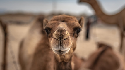 Camel's Face Portrait In Desert