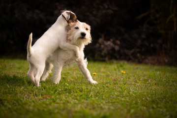 Terriers Playing