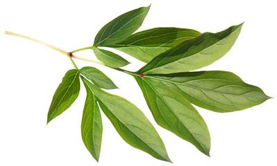 Leaf of a peony