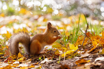 squirrel in the autumn forest eating a nut against the background of fallen yellow leaves and bokeh