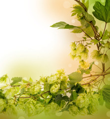 Hop plant - background