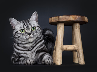 Excellent black tabby silver blotched British Shorthair cat kitten laying down beside a little wooden stool, looking beside camera with mesmerizing green eyes, isolated on black background
