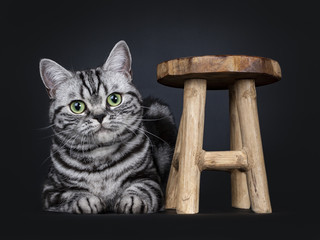 Excellent black tabby silver blotched British Shorthair cat kitten laying down beside a little wooden stool, looking straight at camera with mesmerizing green eyes, isolated on black background