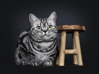Excellent black tabby silver blotched British Shorthair cat kitten laying down beside a little wooden stool, looking above camera with mesmerizing green eyes, isolated on black background