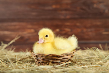 Little yellow duckling in basket on hay