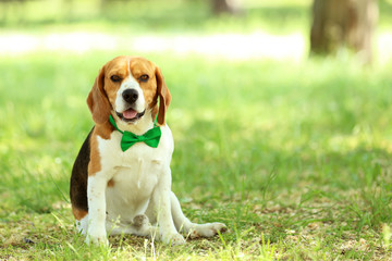 Beagle dog with bow tie sitting in the park