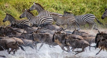 Wall Mural - Wildebeests and zebras are running across a small river. Great Migration. Kenya. Tanzania. Maasai Mara National Park.