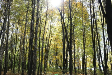 Beautiful autumn forest stands in the golden foliage