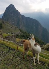 Lamas at the Machu Picchu Inca citadel in Peru