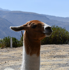 Lama close-up portrait in Peru, South America.