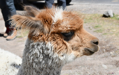 Alpaca portrait in Peru, South America.