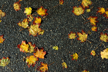 Multicolored autumn leaves with drops of water after the rain li