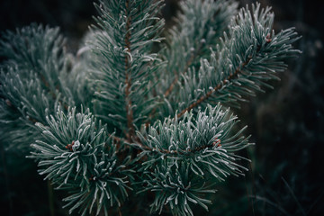Pine branch covered in morning frost, close-up, winter morning. Christmas card.