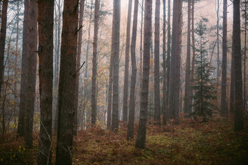 Mysterious forest in morning fog, in Kemeri national park in Latvia.